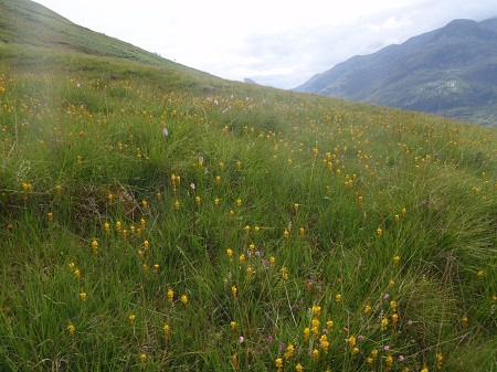 Wild flowers on the slopes of Mam na Gualainn