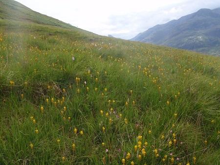Wild flowers on the slopes of Mam na Gualainn